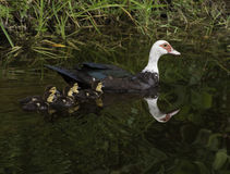 Muscovy Duck Swimming avec cinq canetons Images libres de droits