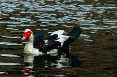 Muscovy Duck Swimming Royalty Free Stock Photography