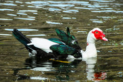 Muscovy Duck Swimming Stock Images