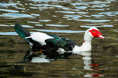 Muscovy Duck Swimming Stock Image