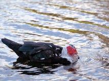 Muscovy duck swimming, Florida Stock Photo