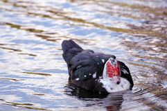 Muscovy duck swimming, South Florida Stock Photography