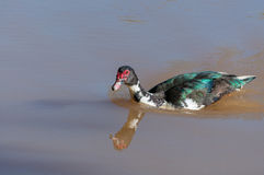 Muscovy duck swimming in the water of a lake. Stock Image