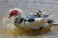 Muscovy Duck taking Bath Royalty Free Stock Image