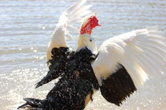 Muscovy Duck taking Bath Royalty Free Stock Photo