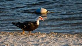 Muscovy Duck Walking, Meer bij de Hangmatten, Kendall, Florida royalty-vrije stock afbeelding