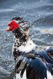 Muscovy Duck in water. Close up of Muscovy duck shaking water from head Royalty Free Stock Photos