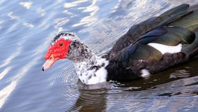 Muscovy duck in the water, Florida Royalty Free Stock Photos