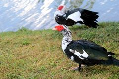 Muscovy duck by the water in Florida Royalty Free Stock Images