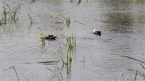 Muscovy duck on the water. Water lake swim between two muscovy duck canes stock footage
