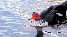 Muscovy duck in the water in South Florida Royalty Free Stock Photos