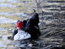 Muscovy duck in the water Stock Photos
