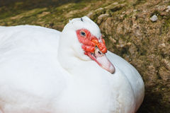 Muscovy duck with white Royalty Free Stock Photo
