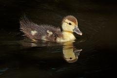 Muscovy duckling Stock Image