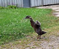 Muscovy Duckling Stands as it Flaps Wings stock images