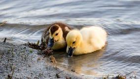 Muscovy Ducklings (Cairina Moschata), Lake at The Hammocks, Florida Stock Images