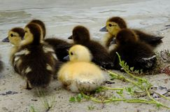 Muscovy Ducklings (Cairina moschata) Royalty Free Stock Photography