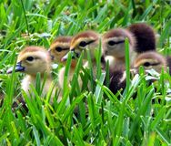 Muscovy Ducklings (Cairina moschata) Stock Photos