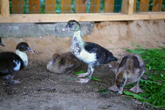 Muscovy ducklings. 3 weeks old in the yard Royalty Free Stock Photography