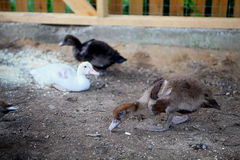 Muscovy ducklings. 3 weeks old in the yard Royalty Free Stock Images