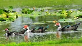 Muscovy Ducks Stock Photo