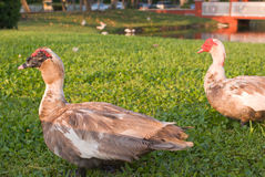 Muscovy Ducks Stock Photo