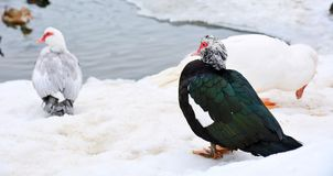 Muscovy ducks Royalty Free Stock Photo