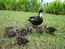 Muscovy Ducks Royalty Free Stock Photography