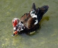 Muscovy Ducks (Cairina moschata) Royalty Free Stock Photo