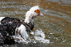 Muscovy ducks (carina moschata) Stock Image
