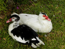 Muscovy Ducks 2 Stock Photography
