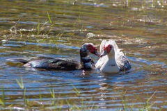 Muscovy Ducks in the lake Stock Images