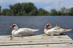 Muscovy ducks near lake Royalty Free Stock Images