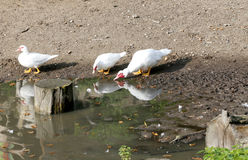 Muscovy ducks near the water on animal farm Stock Photos