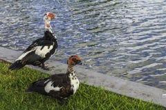 Muscovy Ducks Stock Image