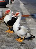 Muscovy ducks on the quayside, Crete. Royalty Free Stock Images