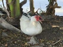 Muscovy ducks sitting under tree Stock Photography