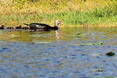 Muscovy ducks swimming Royalty Free Stock Images
