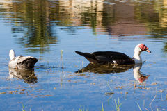 Muscovy Ducks Swimming Royalty Free Stock Photo