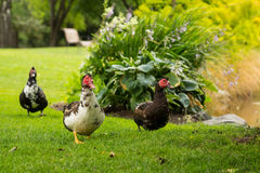 Muscovy ducks Stock Images