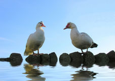 Muscovy Ducks on Water. Pair of Muscovy Ducks, Duck and Drake, on Rocks on Water with Blue Sky Background stock photography