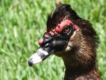 Muscovy-Ente (Cairina moschata) Lizenzfreies Stockfoto