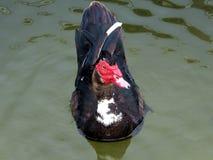 Muscovy-Ente (Cairina moschata) Lizenzfreie Stockbilder