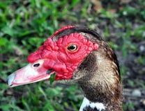 Muscovy-Ente (Cairina moschata) Stockfoto