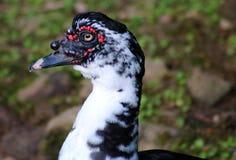 Muscovy för lös and and i Costa Rica Central amerikanfågel Fotografering för Bildbyråer