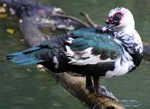 Muscovy för lös and and i Costa Rica Central amerikanfågel Royaltyfria Foton