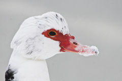 Muscovy and i snö Arkivfoton