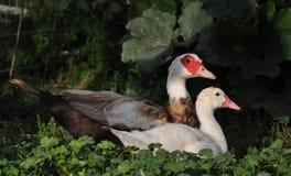 Muscovy kaczątko & kaczka Zdjęcie Stock