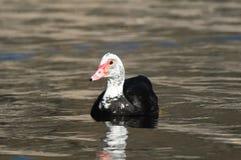 Muscovy kaczka Fotografia Stock
