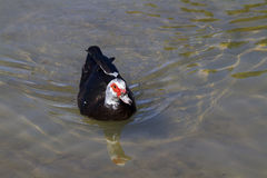 Muscovy kaczka (Cairina moschata) Obraz Stock